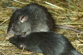 Black Rat - Unwanted Guests – How to Pest-Proof Your Home